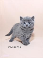 Британские котята отличного породного типа