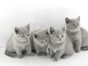 продаются котята британской короткошерстной