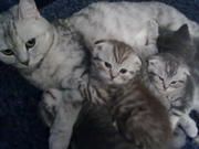 Продам ВИСЛОУХИХ и ПРЯМОУХИХ котят от родителей чемпионов.