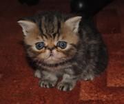 Продаются экзотические котята