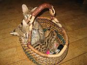 Экзотические котята,  красивые цвета.
