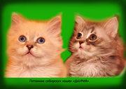 Невские маскарадные и сибирские котята