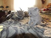 Шикарные чистокровные британские котята голубого окраса