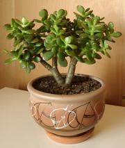 Денежное дерево (Крассула) - дерево благополучия