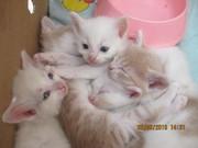 Продам рыже-белого котёнка мальчика