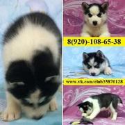 Чёрно-белые щенки хаски с голубыми глазами